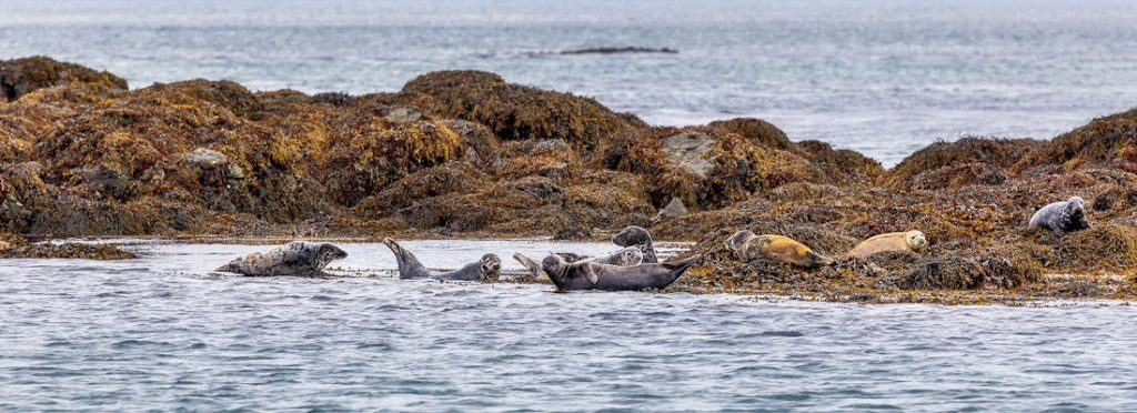 Seals on the Treshnish isles, Isle of Mull