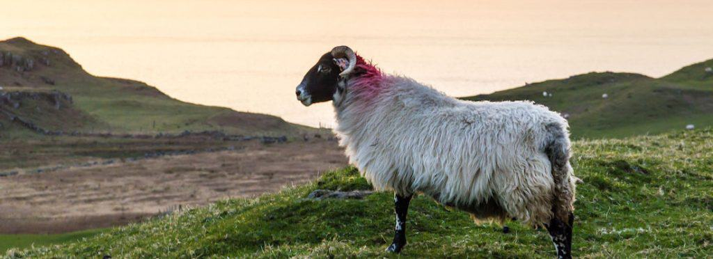 A goat watching the sunset - Isle of Mull